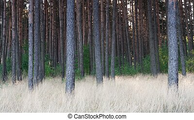 Grassy pine forest