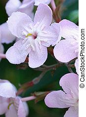 gratissima, luculia, fleurs, -