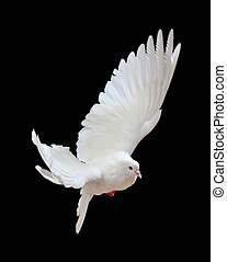 gratuite, noir, isolé, colombe, voler, blanc