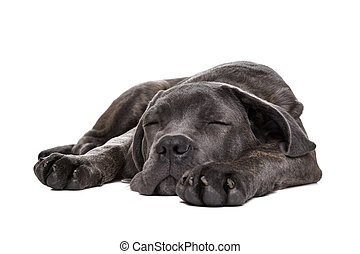 grau, krückstock, corso, junger hund, hund