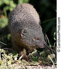 grau, mongoose