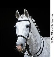 grau, orlov, traber, pferd, auf, schwarz