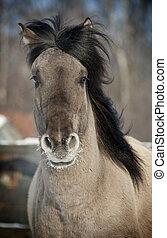 grau, pferd