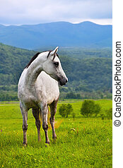 graue , araber, pferd