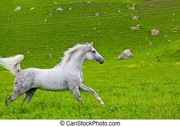 graue , weidepferde, araber, grün, gallops