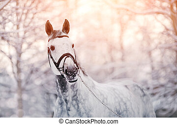 graue , winter, pferd, porträt, sport