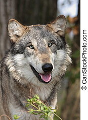 grauer wolf, canis lupus