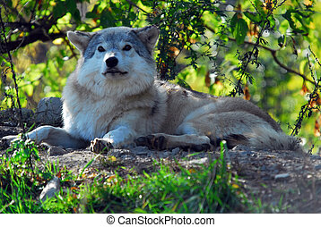 grauer wolf, (canis, lupus)