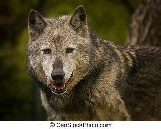 grauer wolf, porträt