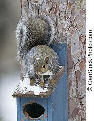 graues eichhörnchen, sitzen, haus, oberseite, östlich, vogel, winter