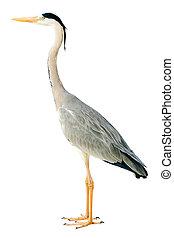 Graureiher - grey heron isolated on white background