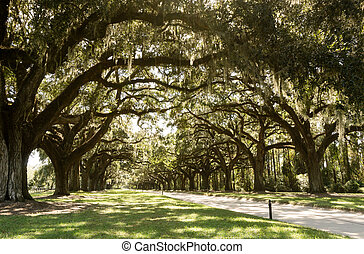 gravel road covered by a natural alleyway of old live oaks ans Spanish moss in the South Carolina countryside