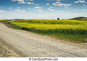 Gravel road crossing canola field