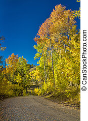 Gravel road leads through a grove of autumn Aspens