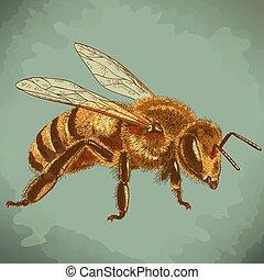 gravering, bi, honning, illustration