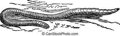 gravering, terrestris, earthworm, vinhøst, fælles, eller, ...