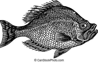 gravura, centrarchus, baixo, aeneus, vindima, peixe, rocha,...