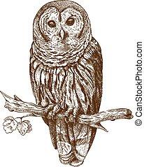 gravura, coruja, ilustração