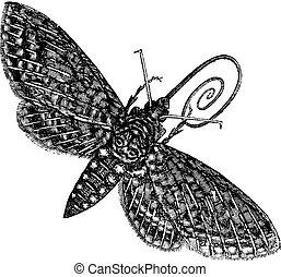 gravura, esfinge, vindima, quinquemaculatus, hawk-moth, ou