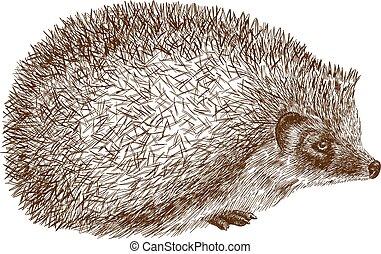 gravura, ilustração antique, ouriço