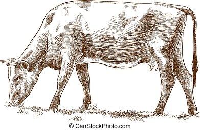 gravura, ilustração, vaca