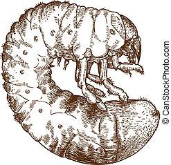 gravura, larve, maio, ilustração, besouro, desenho