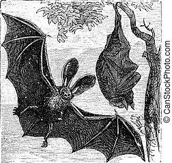 gravura, marrom, morcego, auritus, longo-eared, vindima,...