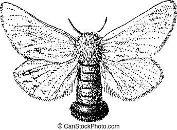 gravura, moth, vindima, cigana, dispar, lymantria, ou