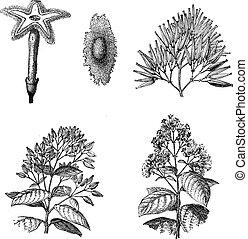 gravura, planta, vindima, três, diferente, espécie, cinchona