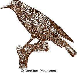 gravura, starling, comum, ilustração