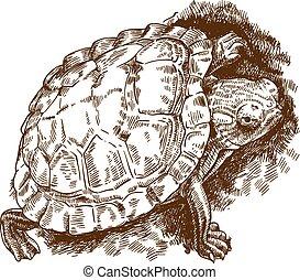 gravura, tartaruga, ilustração