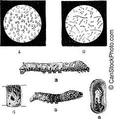 gravura, vindima, doenças, silkworms