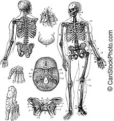 gravura, vindima, esqueleto, human