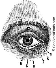 gravura, vindima, externo, olho humano, vista