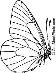 gravura, vindima, lepidopteran, ou, lepidoptera
