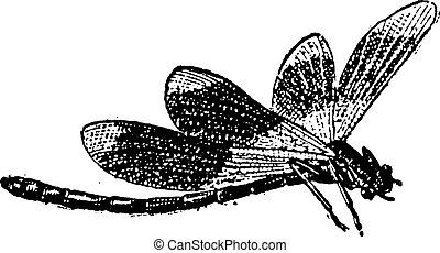 gravura, vindima, libélula