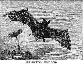 gravura, vindima, morcego, comum