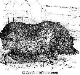 gravure, bucculentus, vendange, cochon, vietnam, indochinese, warty, sus, ou, heude's