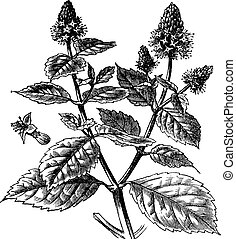 gravure, cablin, pogostemon, ouderwetse , patchouli, of