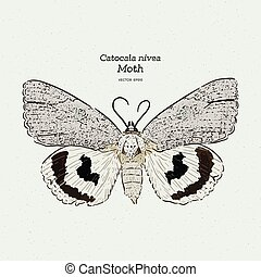 gravure, catocala, holarctic, illustration., moth, ...