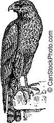 gravure, cerf volant, vendange, milvinae, sp., elaninae,...