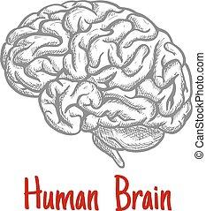 gravure, cerveau, croquis, isolé, humain