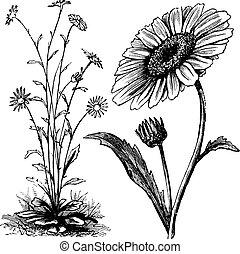 gravure, chrysant, sp., ouderwetse