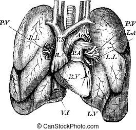 gravure, coeur, humain, poumons, vendange