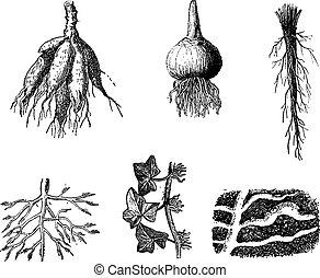 gravure, différent, vendange, dahlia, étapes, racines
