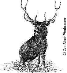 gravure, eland, wapiti, canadensis, ouderwetse , cervus, of