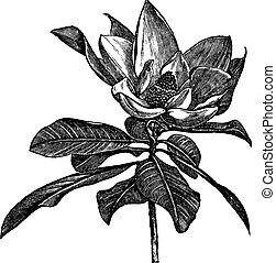 gravure, grandiflora, vendange, magnolia, méridional, ou