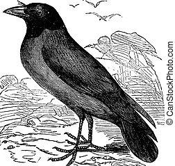 gravure, hooded, ouderwetse , cornix, corvus, hoodiecrow,...