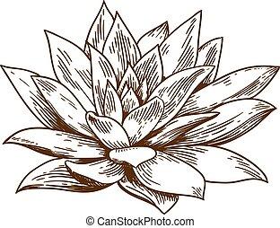 gravure, illustratie, van, succulent, echeveria