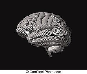 gravure, illustration, cerveau, monochrome, vue côté
